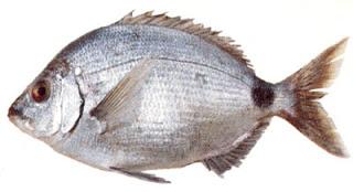 pesca del sargo