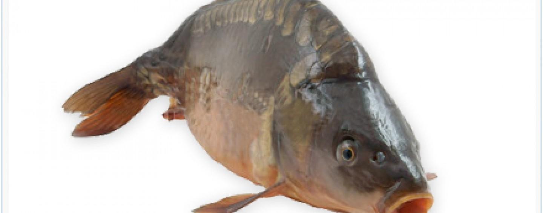 ¡A por la pesca de carpas tamaño XL!