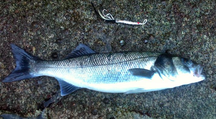 Pesca con chivo desde roca