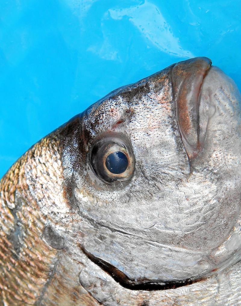 la pesca de sargos