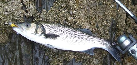 Pescando lubinas a lance ultraligero