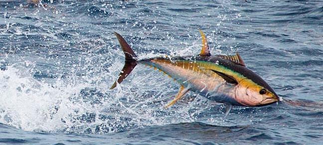 pesca en Cabo Verde de Atun de aleta amarilla
