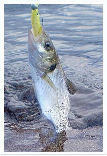 Pesca de lubinas con jerkbait de vinilo