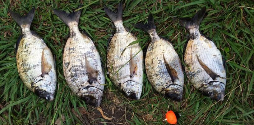 Pesca del sargo con masilla de sardina