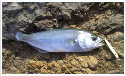 Pez capturado con pesca jig casting