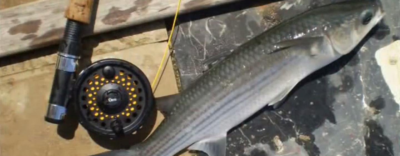 Pesca de lisas a mosca, una pesca diferente