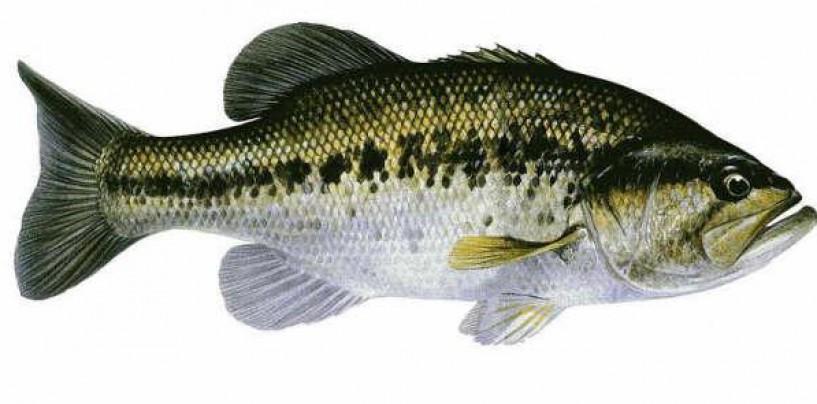 6 artificiales en la pesca del black bass para tentar más esquivos