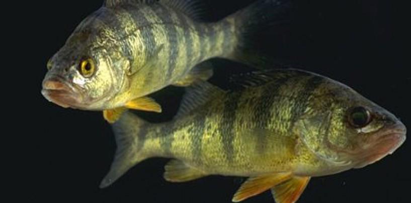 Como pescar la perca europea, por si te apasionan los peces deportivos