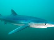 La tintorera o tiburón azul, rápida y mortal