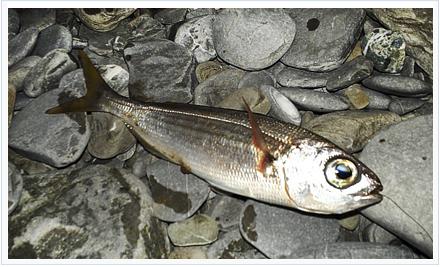 Pesca de bogas a corcho
