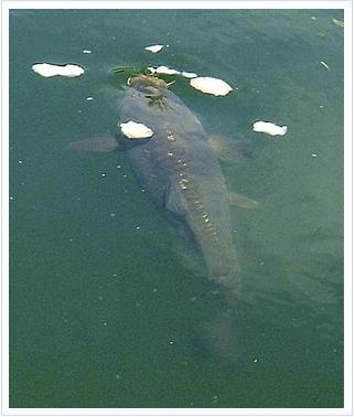 Cebado en la pesca de carpas con flotador