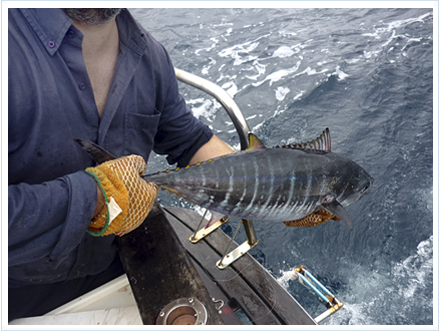 Pescar atunes en el Cantábrico