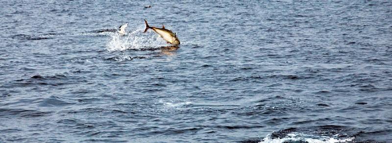 pesca de atunes en Cantábrico