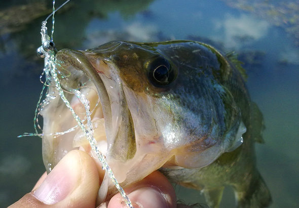 Black-bass capturado con la mosca Clouser's Minnow