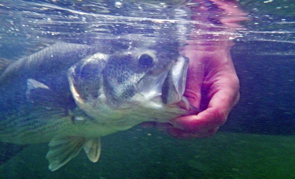 Pesca del black-bass