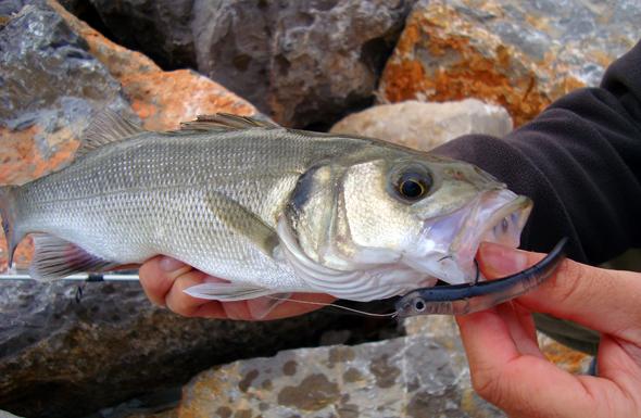 Pesca de la lubina con vinilos