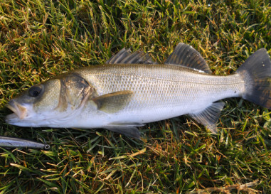 5 Consejos para la pesca de la lubina en todas sus modalidades