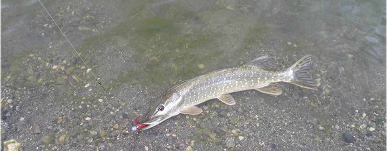 Mi iniciación a la pesca del lucio