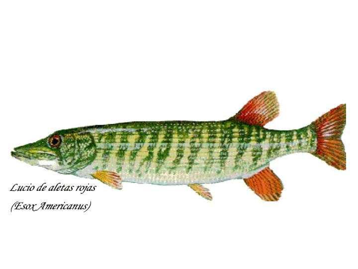guía de bolsillo de la pesca del lucio