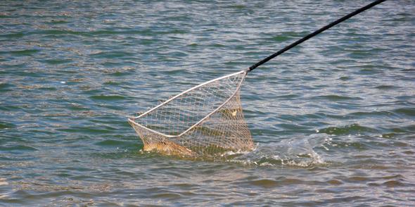 Pesca de carpas a la inglesa, el montaje