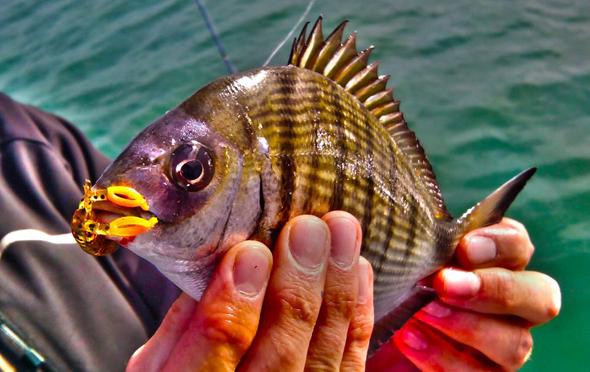 Sargo capturado senuelos de pesca rockfishing