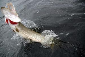 Pesca en invierno de lucios