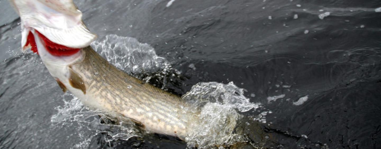 Cómo pescar lucios en ríos cuando llega el frío
