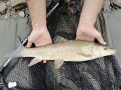 Pesca del barbo gitano