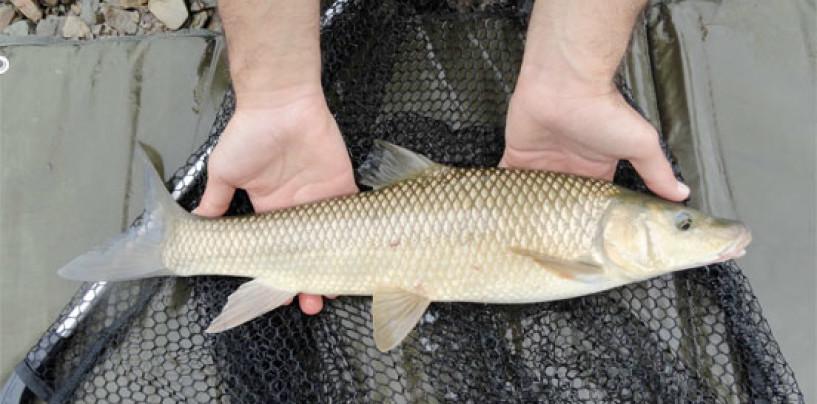 La pesca del barbo gitano a mosca