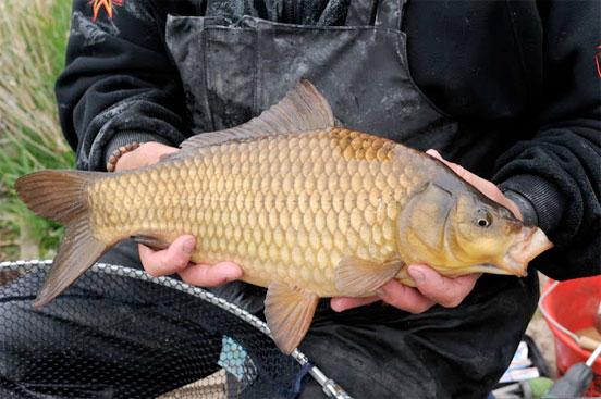 pesca de carpa con maíz