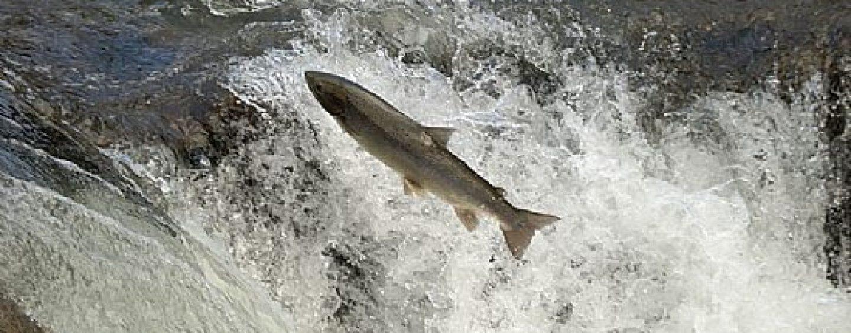 Los retos futuros del salmón atlántico