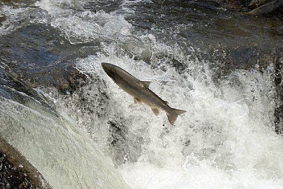 salmon-rio-ulla
