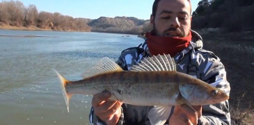 Técnica con cucharillas para pescar Luciopercas en la transición de invierno a primavera