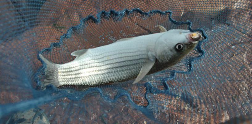 Cebos anticrisis: el engrudo como cebo de pesca