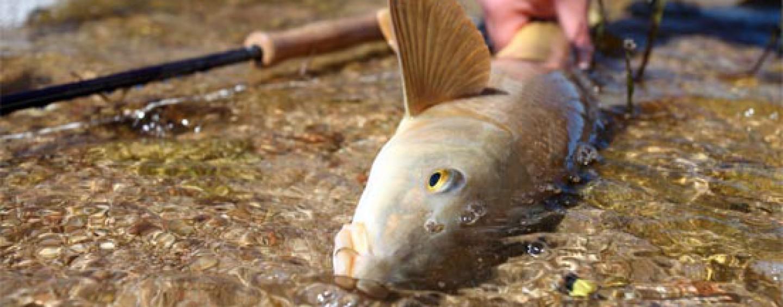 Una introducción de la pesca de barbo a mosca