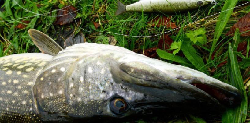 En la pesca del lucio ¿señuelo duro o blando?