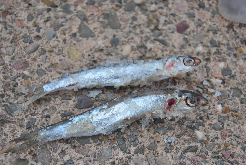 cebos para la pesca del congrio