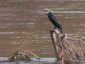 El nuevo frente de combate de los ecologistas contra los pescadores es el cormorán
