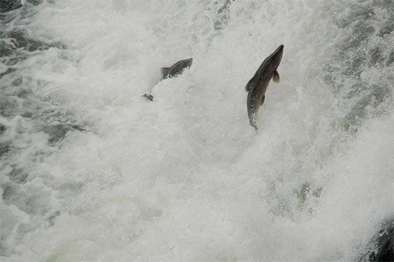 salmon_bidasoa