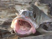5 trucos para pescar lubinas donde otros fallan