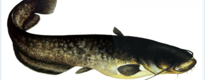 Equípate para pescar grandes siluros ¡sin pagar gastos de envío!