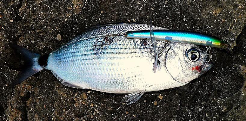 La pesca de la oblada a spinning, voraces y combativas