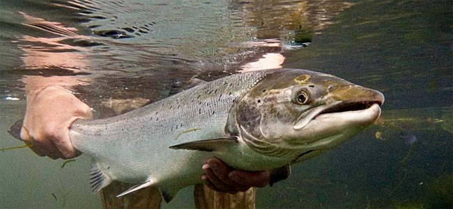 salmon-atlantico