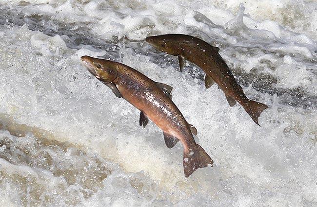 salmon-portada
