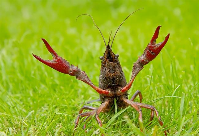 _cangrejo-rojo