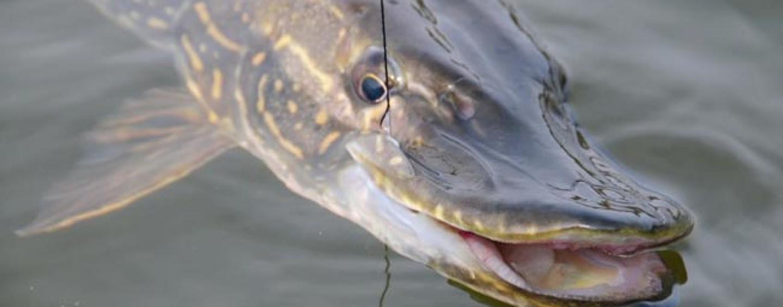 Cómo y donde pescar lucios en verano