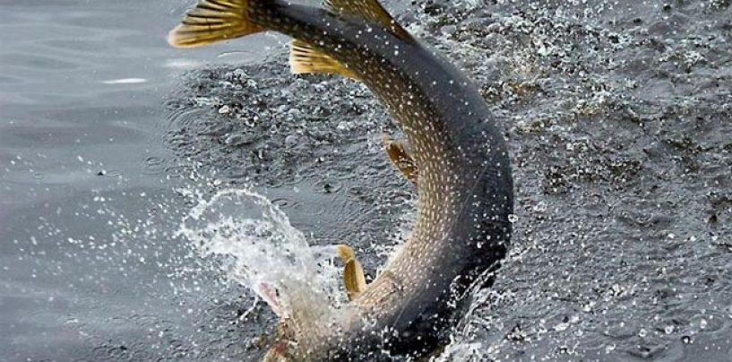 La pesca del lucio en primavera: Analiza bien dónde y cómo