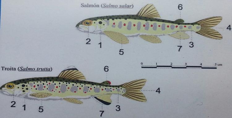 Diferencias entre trucha y salmon alevín