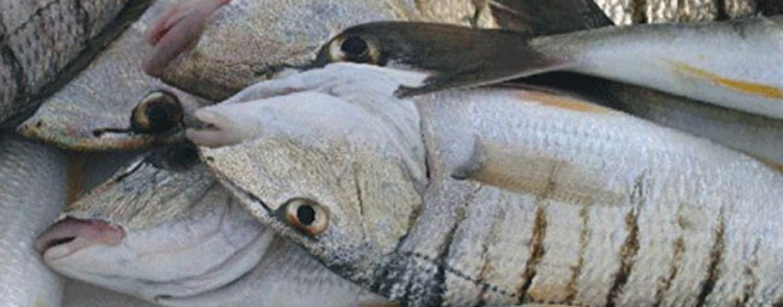 La pesca de la mabra o herrera: Una de las mejores expectativas para el verano