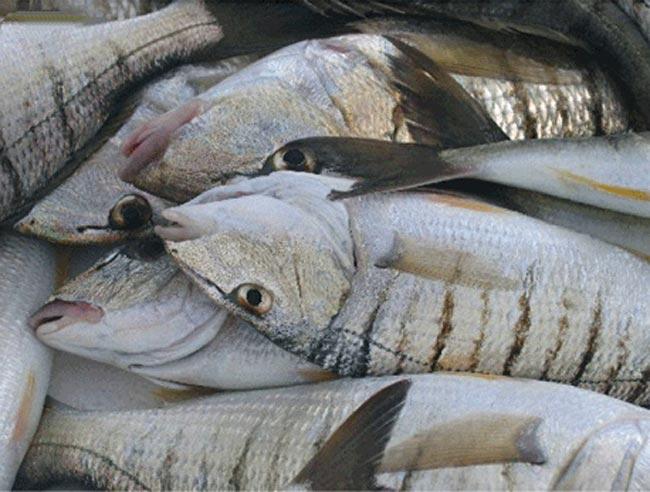 La pesca de la mabra o herrera